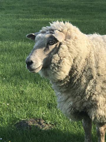 Urlaub auf dem Bauernhof, Schaf Lämmi