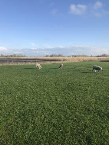 Ferien auf dem Bauernhof, Schafweide
